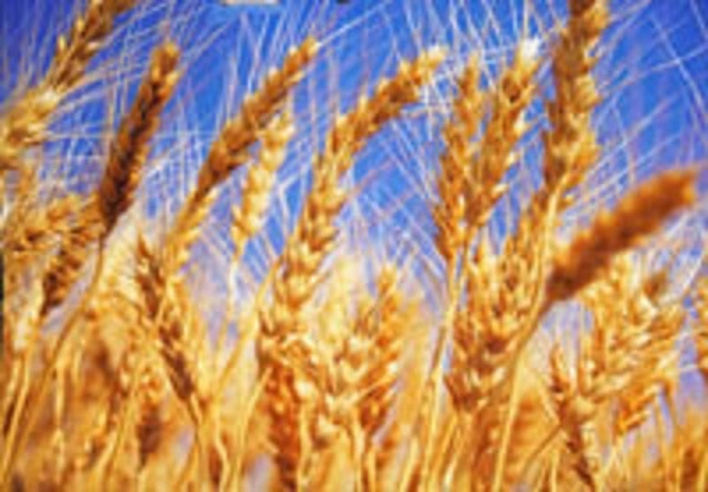 Grain de blé 2016 4.jpg