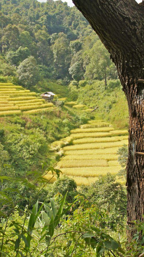 Abris dans les rizières