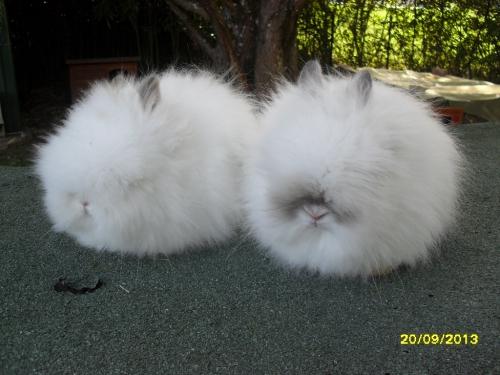 teddys nés le 14 juillet mère teddy papillon havane 002.JPG
