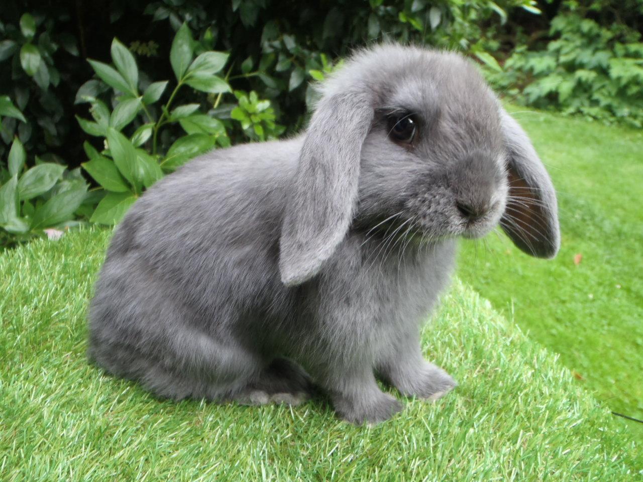 lapine rohen et lapine bélier bleue 014.JPG
