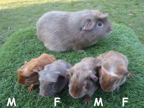 4 petits à poil lisse nés le 11 février
