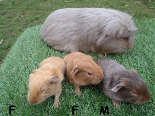 3 petits à poil lisse nés le 12 mars