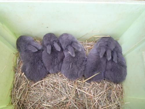 5 petits béliers nés le 6 février