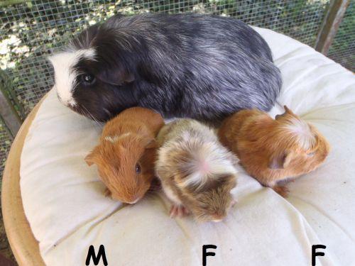 3 petits à poil lisse nés le 22 avril
