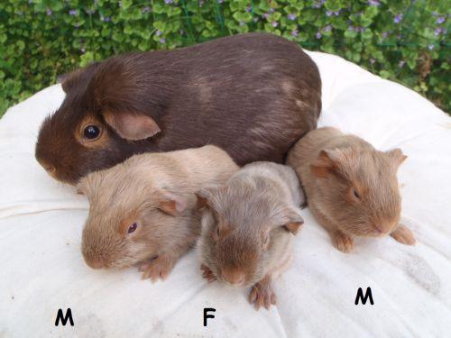 3 cochons d'inde à poil lisse nés le 21 mai