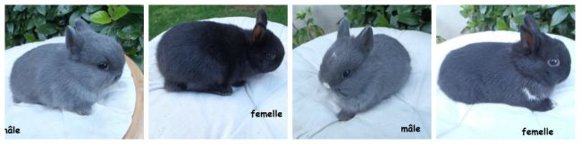 4 lapins OD nés le 17 janvier