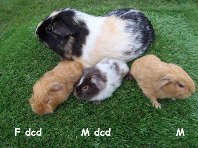 3 petits à poil lisse nés le 1er janvier