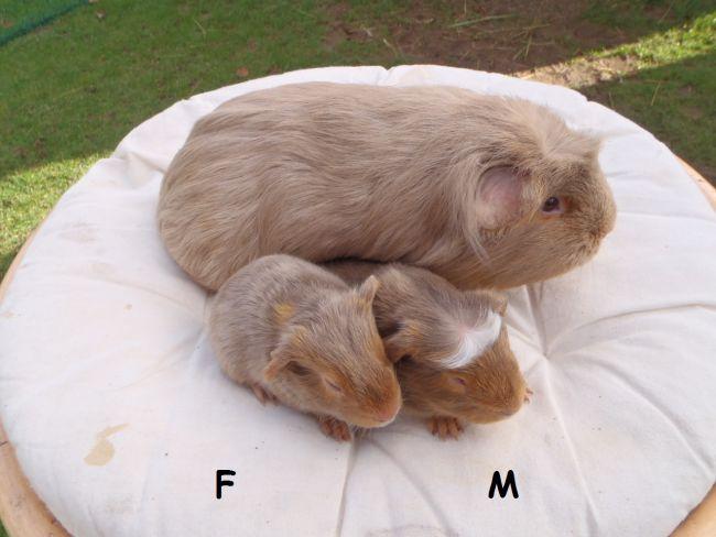 2 petits à poil lisse nés le 3 février