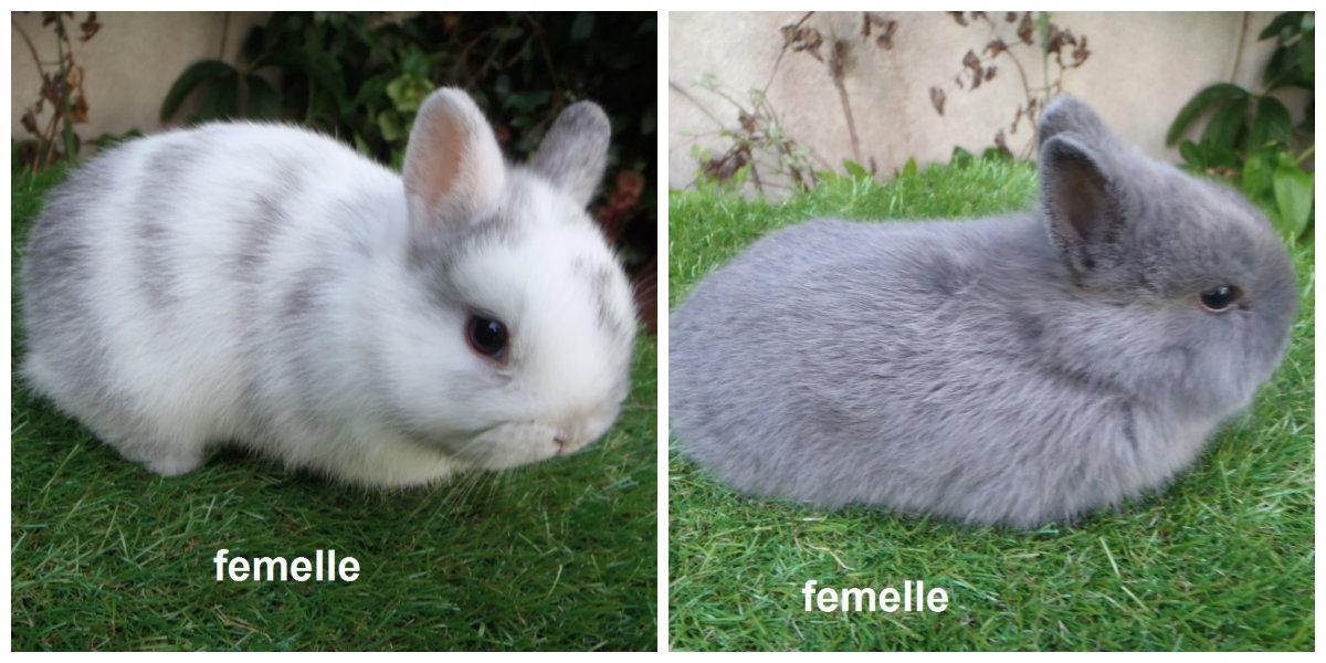 2 lapins à oreilles droites nés le 2 mars