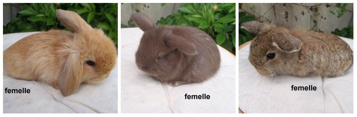 3 femelles minilops nées le 6 avril - mère minilop havane/blanche et père minilop fauve