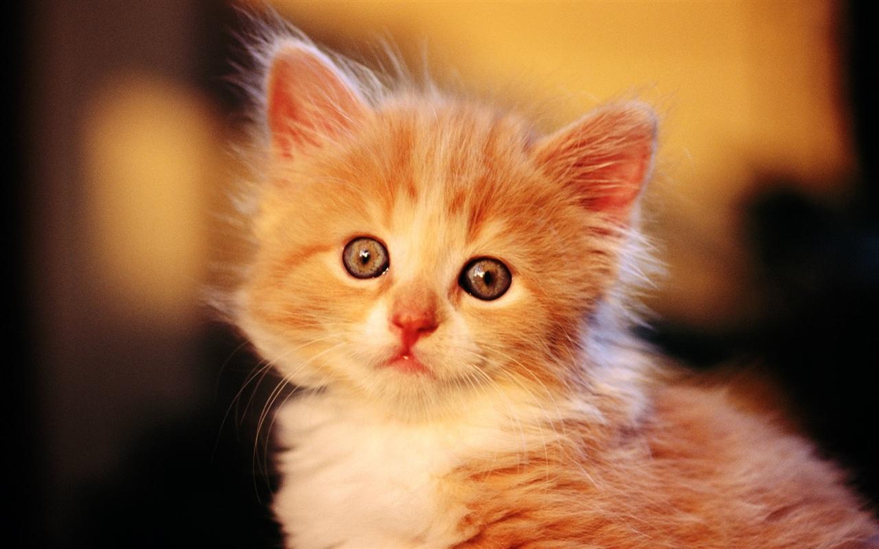 Cute-little-orange-cat_1280x800.jpg