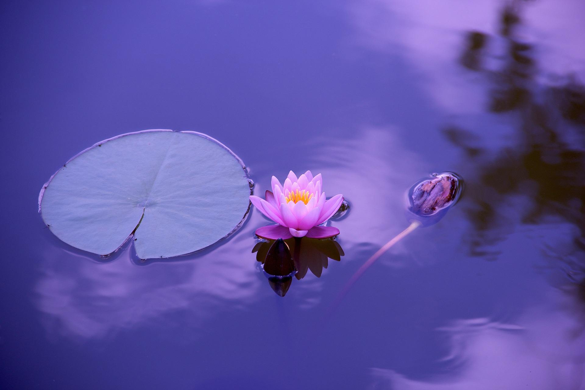fleur de lotus violette.jpg