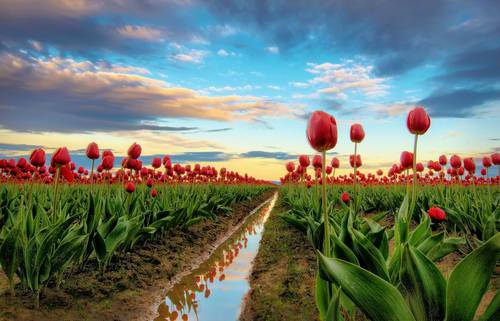 Tulips Without Ghost - Full.jpg