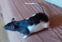 rat lisse.jpg