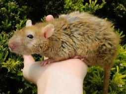 rat velours.jpg