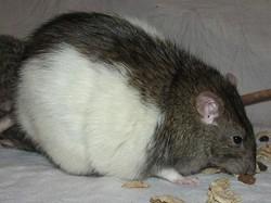 rat obèsebis.jpg