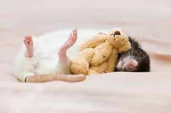 rats-ourson-en-peluche-1.jpg