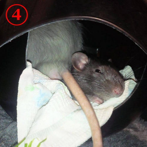 Choco et Nuts - Ratou 4bis.jpg