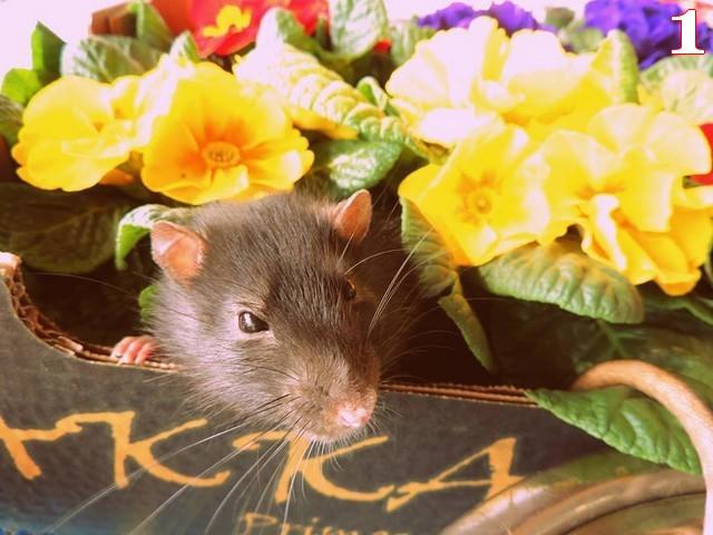 n° 1 bis Mes Ratous D'amour Arthur.jpg