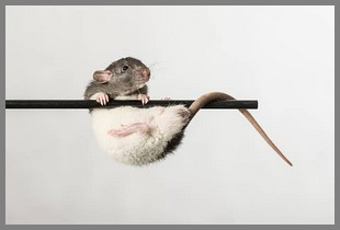 rat acrobate concours ok.jpg