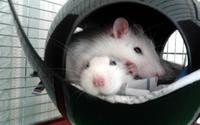 Bienvenue chez les ratounes