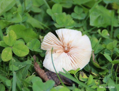 champignon_Jura