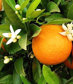 https://static.blog4ever.com/2012/03/670434/fleur-d--oranger.jpg
