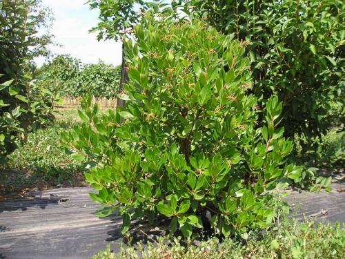 arbousier arbre.jpg