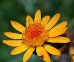 fleur d'arnica.jpg