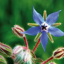 bourrache fleur.jpg