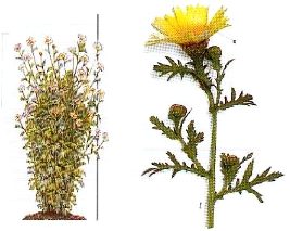 CHRYSANTHEME DES MOISSONS 3.png
