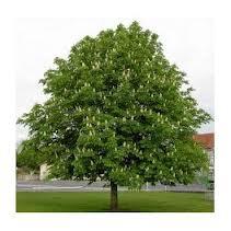 marronnier d'inde arbre.jpg