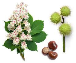 marronnier d'inde fleurs graine.jpg