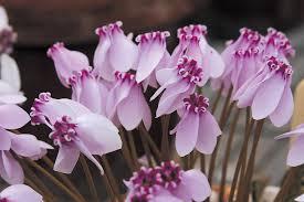 CYCLAMEN D'AFRIQUE fleurs.jpg