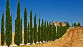 cyprès toujours vert arbre.jpg