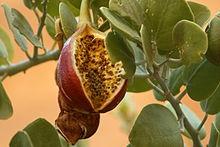 câprier épineux fruit.jpg