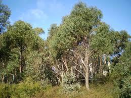 eucalyptus arbre.jpg