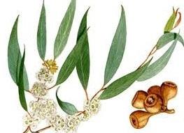 eucalyptus feuille.jpg