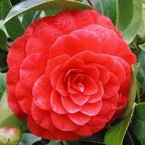 camélia fleur rouge.jpg
