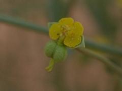 EUPHORBE DE GUYON fleur.jpg