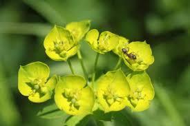 Euphorbe réveil  matin fleurs .jpg