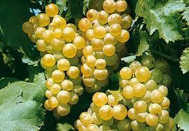 vigne blanc.jpg