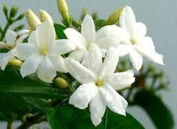jasmin fleurs.jpg