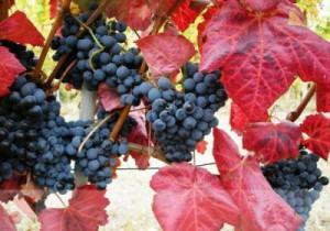 Vigne rouge.jpg