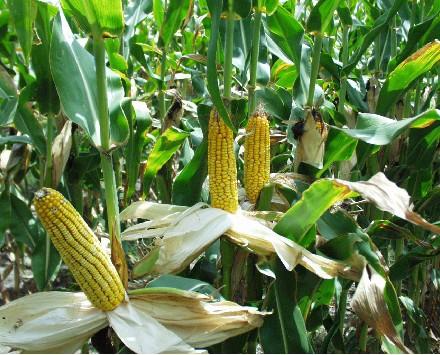 maïs.jpg
