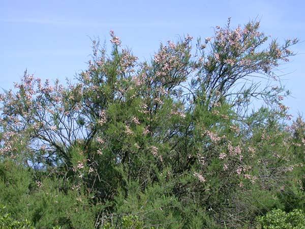tamarix gallica1.jpg