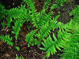 polypodium vulgare 1.jpg
