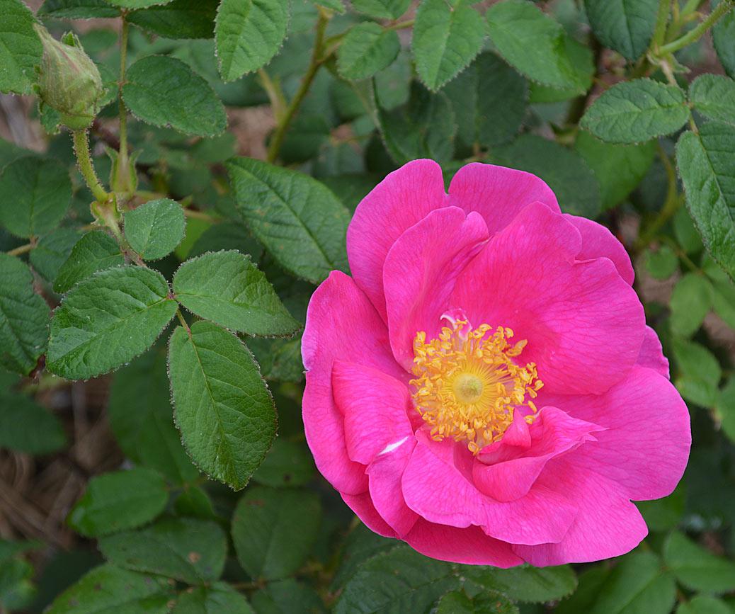 rose rouge.jpg