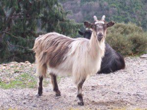 Chèvre Corse