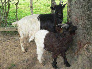 Chèvre Col noir du Valais